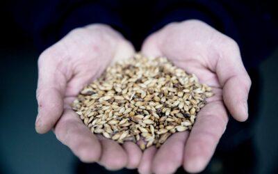 Korn bruges til alt fra bagværk til øl og udgør den største del af Danmarks afgrøder