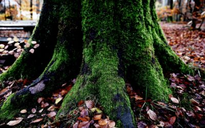 Smukt grønt mos på stort egetræ