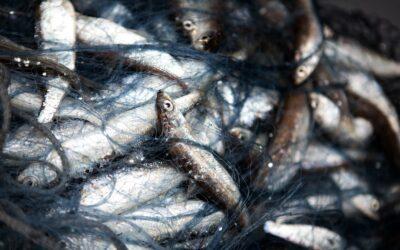 Friskfanget fisk