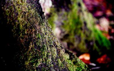 Grønt mos vokser ofte i skyggen og på fugtige steder