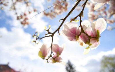 Den smukke kirsebærblomst vækker glæde