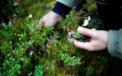 I skovbunden plukkes bær og svampe