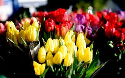 Tulipaner, der gør en forskel