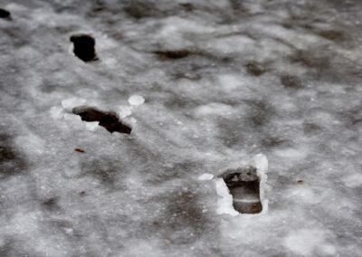 Food prints in wet snow