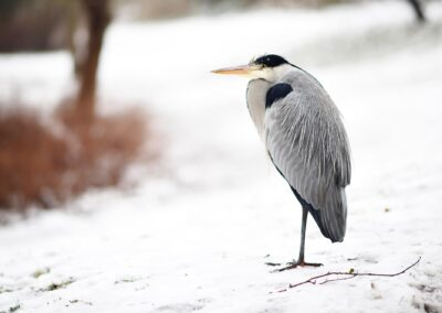 The Heron is a frequent visitor in the local parks