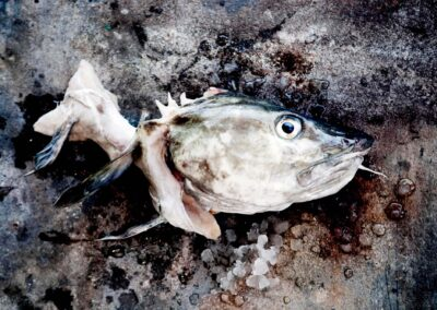 Frisk torsk lige hevet op af havet